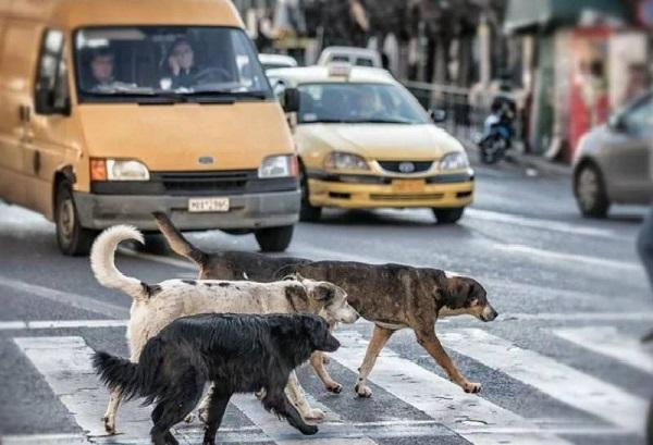 Кто научил бродячих псов правильно переходить дорогу